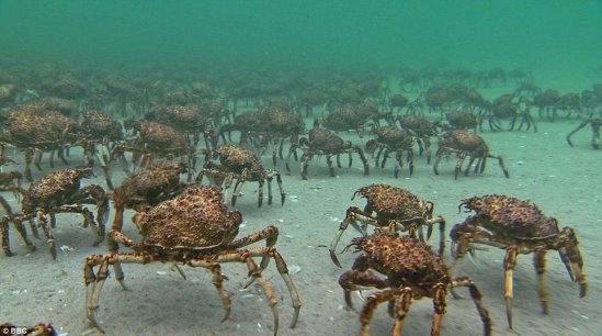 巨型杀人蟹攻击渔民,90年至今已有60人葬身蟹腹!小心此蟹!危险!