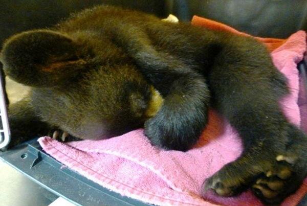 小熊慘遭母親遺棄 瀕死關頭向人類求救