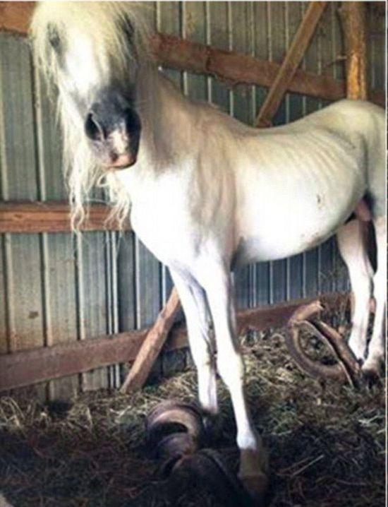 美國兩馬被鎖15年 馬蹄指甲長91公分