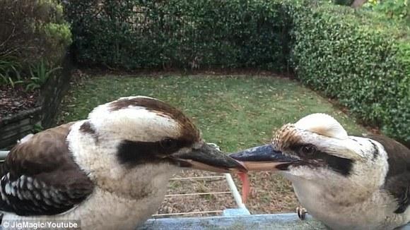 兩鳥為了一時意氣,竟然咬住肉僵持了數小時,連人煩也看不過眼了!